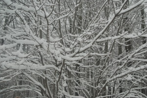 snow covered tree1